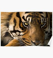 Eye of the  Sumatran Tiger Poster