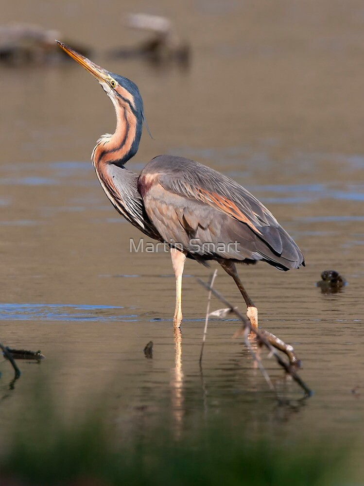 Purple Heron by Martin Smart