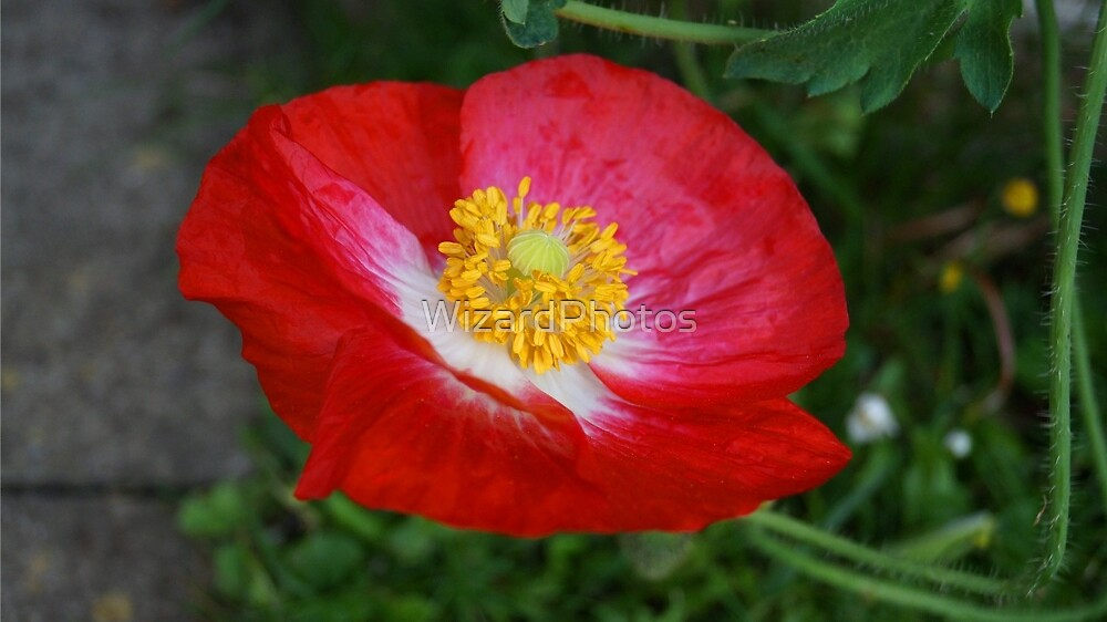 Pretty Poppy by WizardPhotos