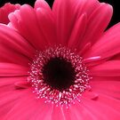Hot Pink Red Gerbera Closeup by hurmerinta