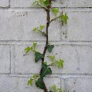Ivy by bubblebat