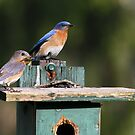 Bluebirds of Happiness  :o) by Lori Deiter