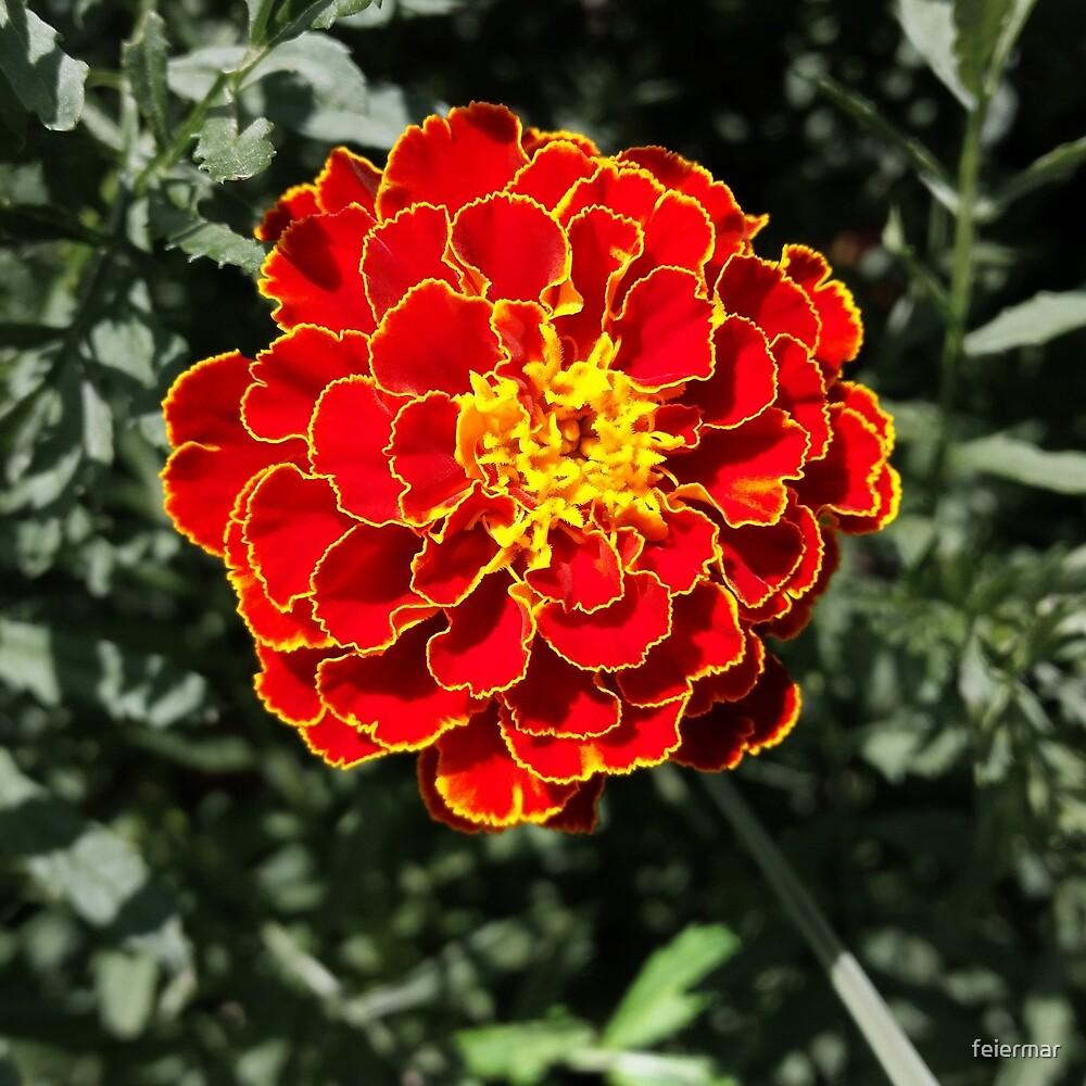 dark orange marigold by feiermar