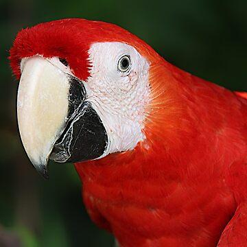 Scarlet Macaw by DiamondWillow