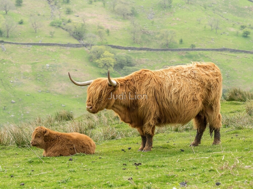 Highland Cow and Calf by Judi Lion