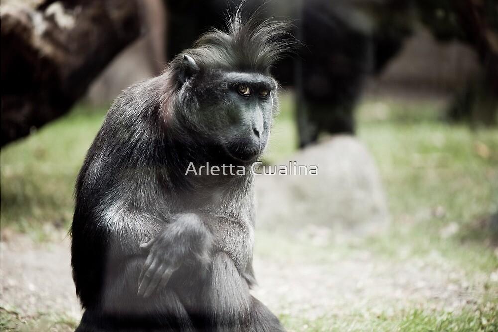Single macaque monkey sitting alone by Arletta Cwalina