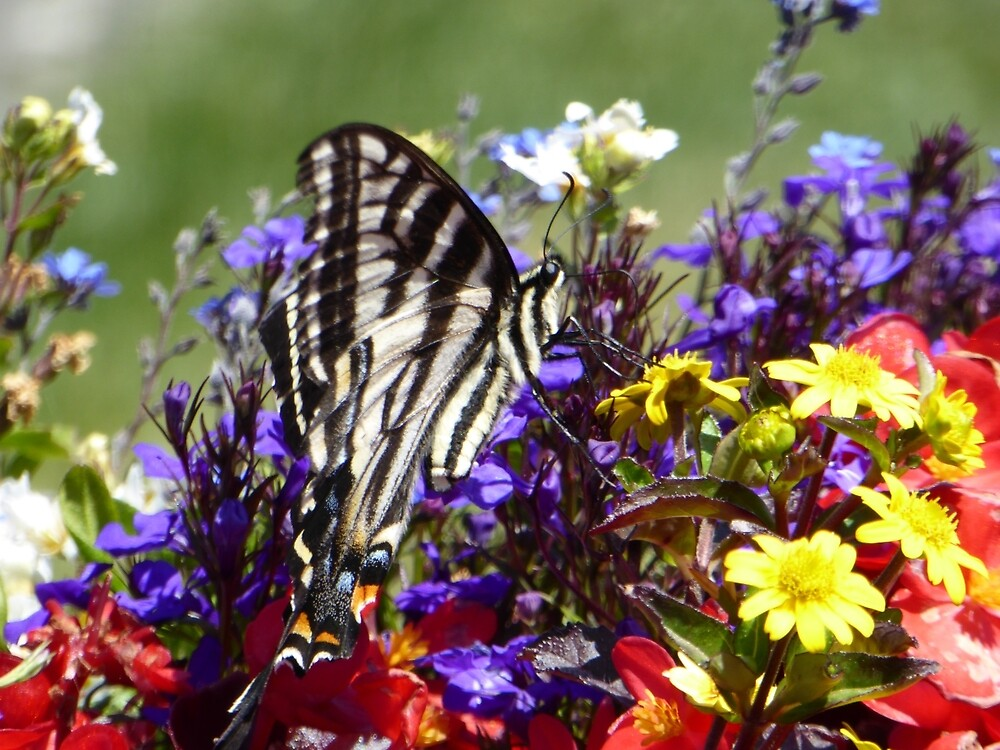 Canadian Tiger Swallowtail Butterfly by pixiealice