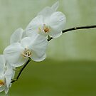 Orchid - Brother White Windian by Tracey  Dryka