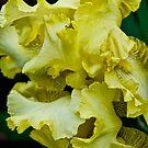 Gold Dazzle -  my garden, Ottawa by Tracey  Dryka