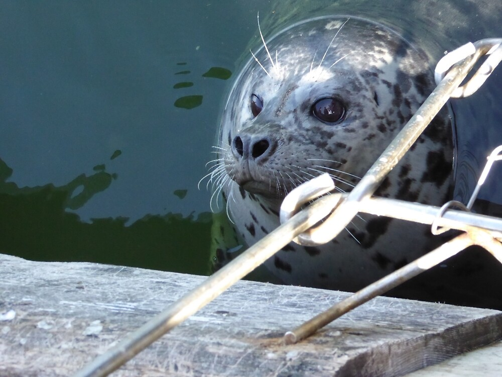 Wild Seal Feeding in the Bay by pixiealice