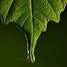 Spring Leaf by FraserJ