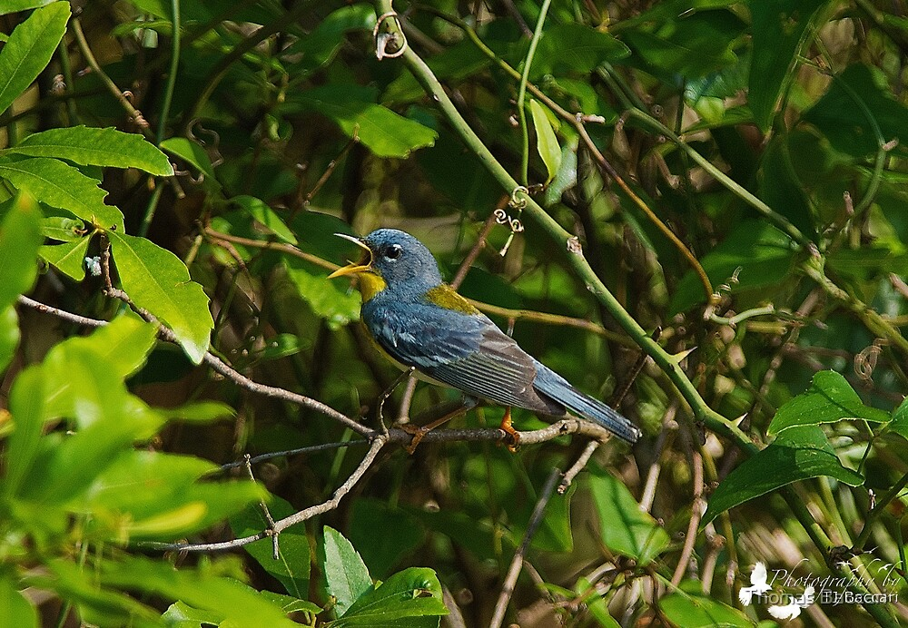 Northern Parula  by TJ Baccari Photography