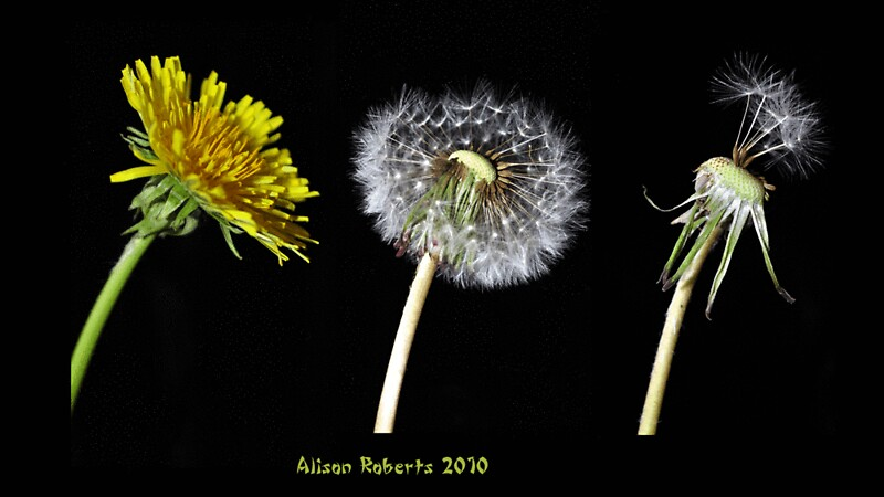 Quot Dandelion Lifecycle Quot By Alison Roberts Redbubble