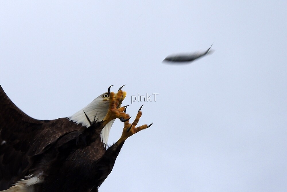 Bald Eagle Catching Fish by pinkT