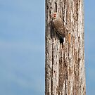 Flicker on a Pole by Tracy Riddell