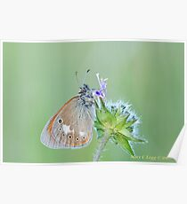 Chestnut Heath, Coenonympha glycerion Poster