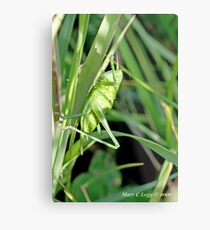 Great Green Bush-Cricket, Tettigonia viridissima Metal Print