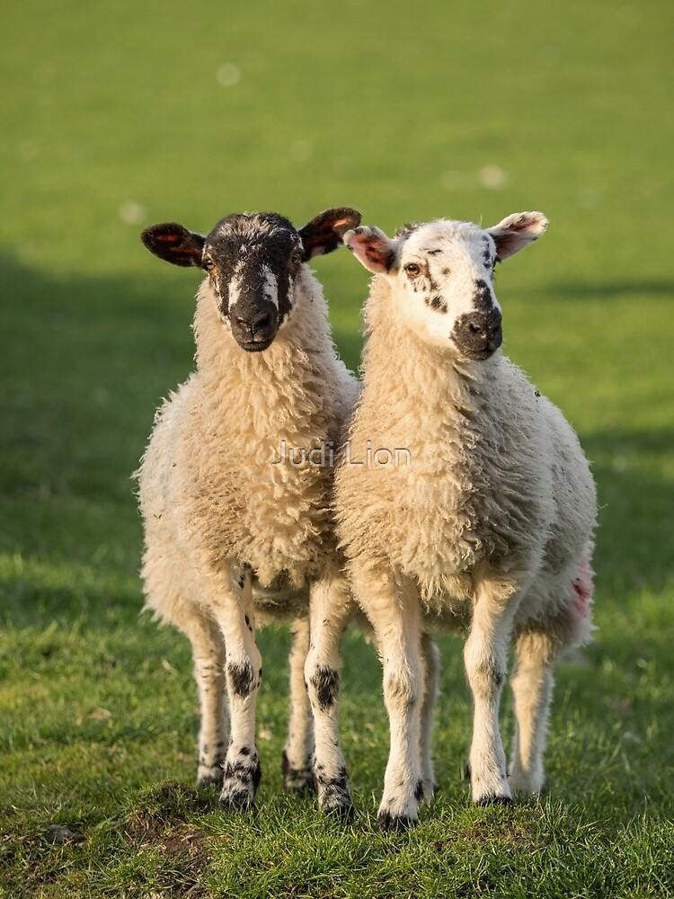 Herdwick Twins by Judi Lion