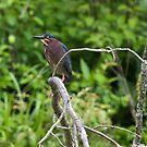 Green Heron by KathleenRinker