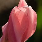 Tulip - Dow's Lake, Ottawa, ON by Tracey  Dryka