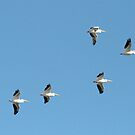 White Pelicans in Flight by Virginia N. Fred