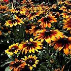Gloriosa Gänseblümchen von Wayne King