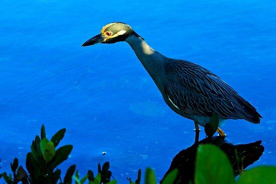 Yellow Crowned Night Heron by bengraham