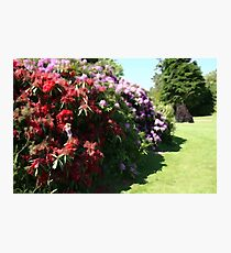 Illustrated Rhododendrons Photographic Print