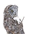 Great grey owl in storm by Jim Cumming