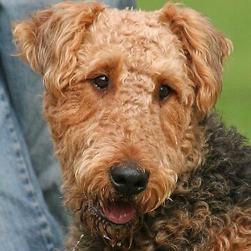 Airedale Terrier by JennyB