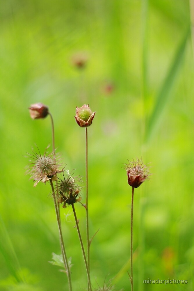 A meadow of avens by miradorpictures