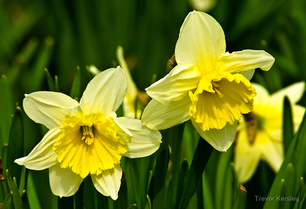 Daffodills #3 by Trevor Kersley