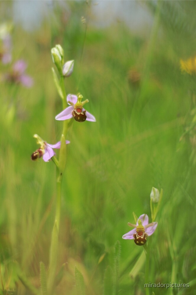 The stunning bee orchid by miradorpictures