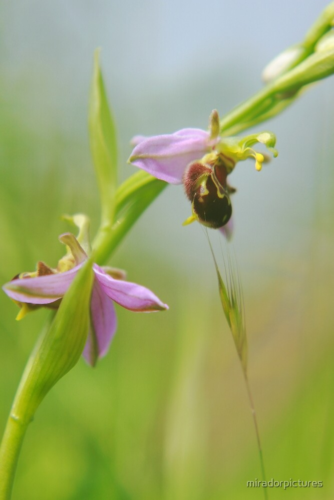 The extremely rare bearded bee orchid!! by miradorpictures