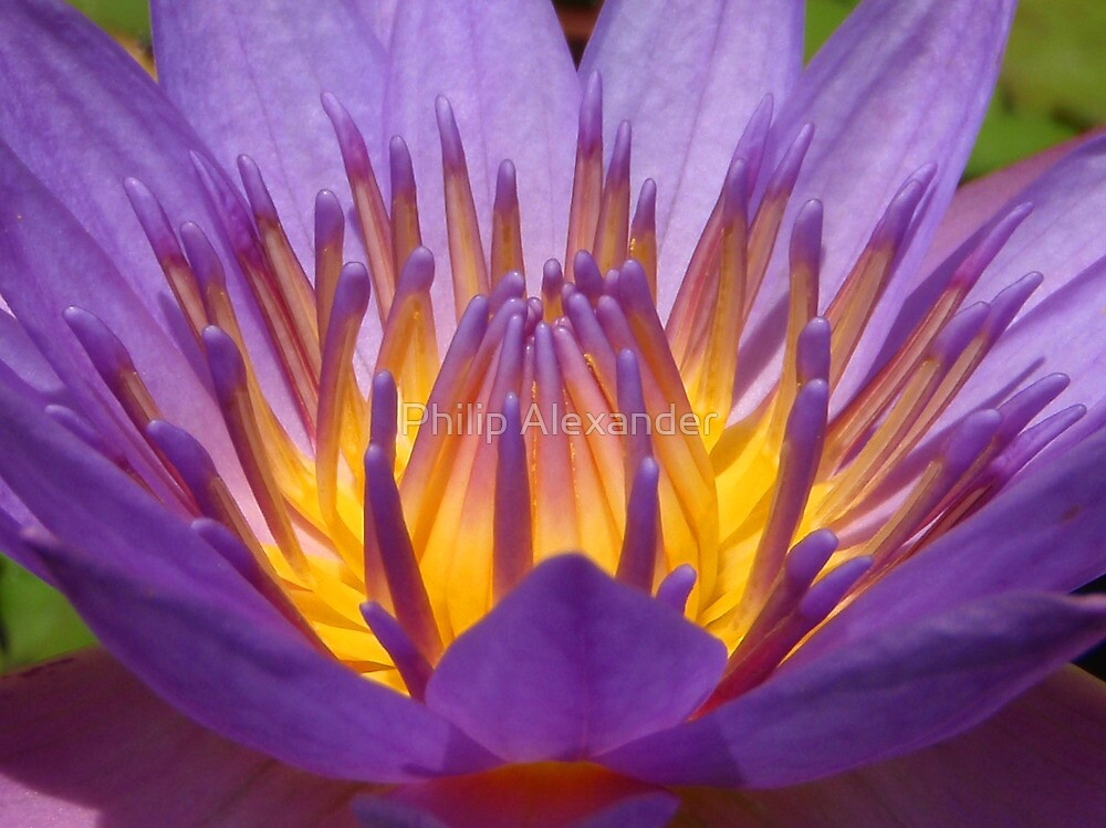 Lotus flower 2 by Philip Alexander