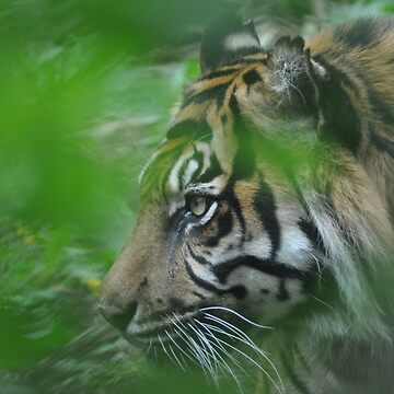 Sumatran Tiger, London Zoo ~ May 2010 by SCreary