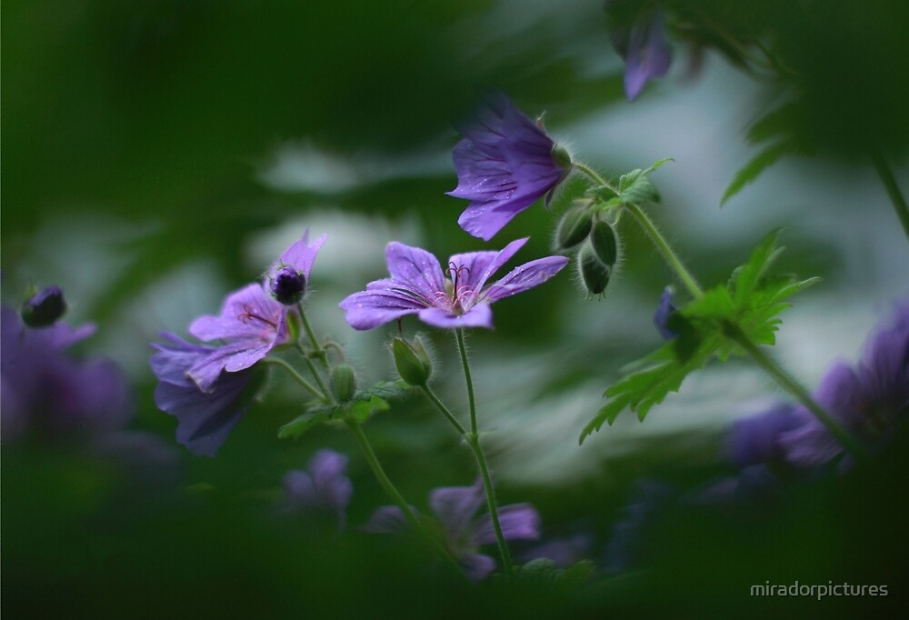 Through to the meadow cranesbill by miradorpictures