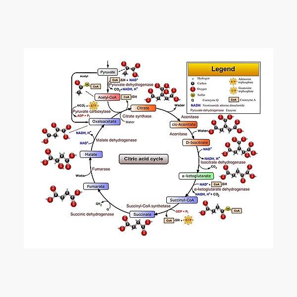 Citric Acid Cycle, TCA Cycle, Krebs Cycle Diagram Photographic Print