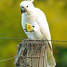 Sulphur  Crested Cockatoo In Our Back Paddock. Brisbane, Queensland, Australia by Ralph de Zilva