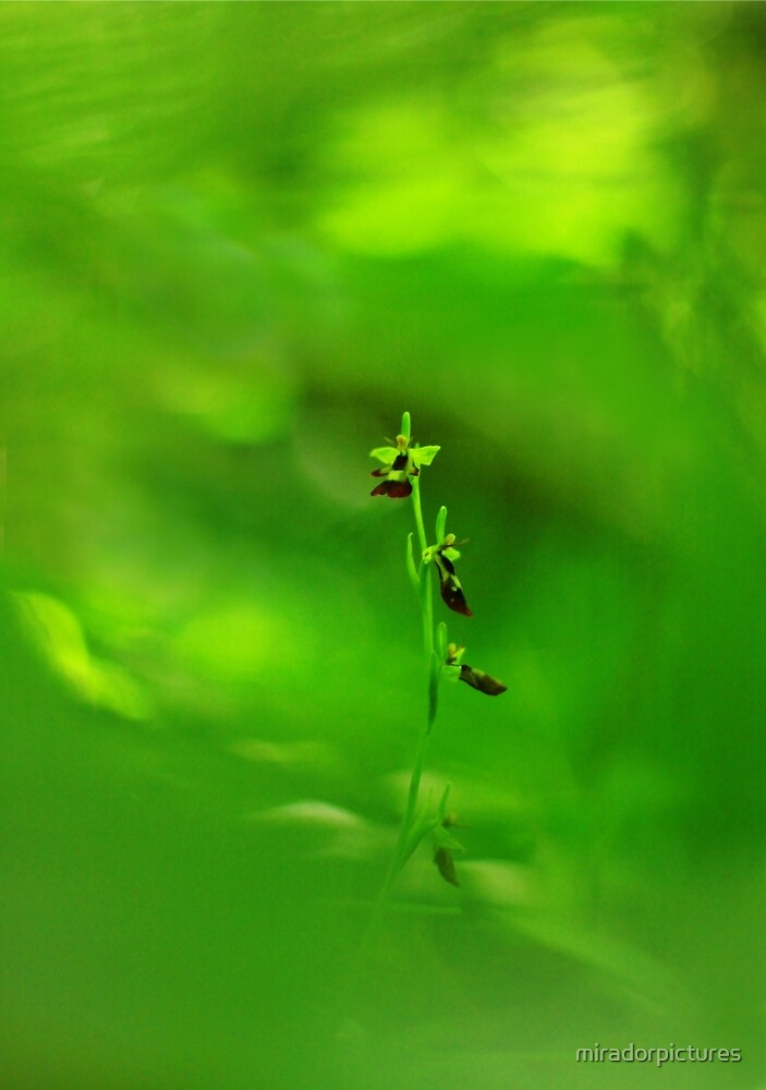 The rare fly orchid by miradorpictures