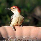 Woody, The Red Bellied Woodpecker by DottieDees