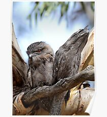 Frogmouths Poster