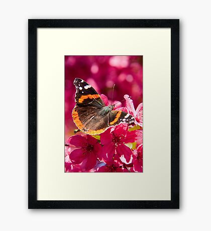 Admiral butterfly on crab apple tree blossoms Framed Print