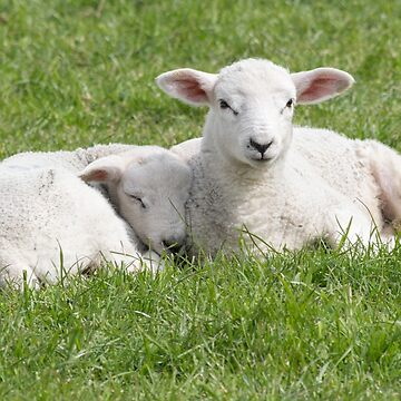 Spring little lambs by HaleyRedshaw