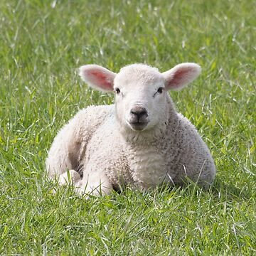 Spring little lamb by HaleyRedshaw