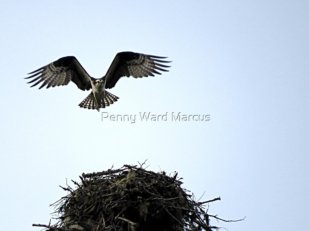 Osprey Arrives Home by Penny Ward Marcus