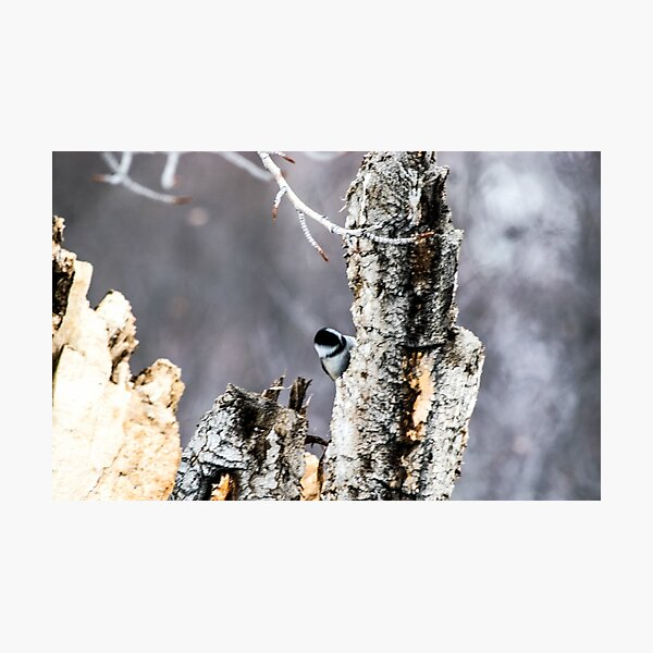 Chickadee Photographic Print