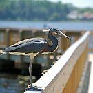 Tri-Color Heron Posing by nauticalelf