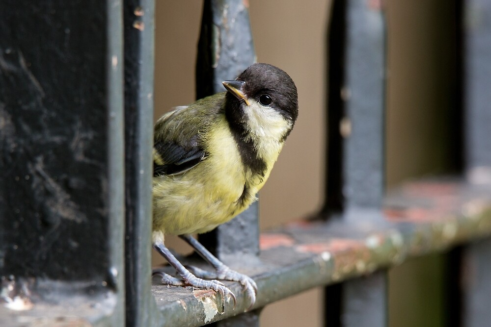 Young Great Tit on Railings by Ellesscee