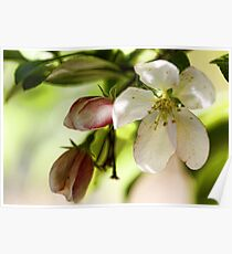 Crab-Apple Blossoms  Poster